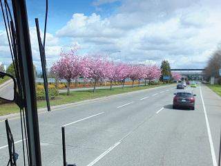 バスの窓から見える桜並木